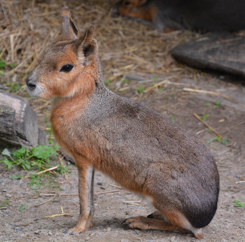The Patagonian mara. Is a relatively large rodent in the mara genus. It is also known as the Patagonian cavy, Patagonian hare or dillaby royalty free stock photography