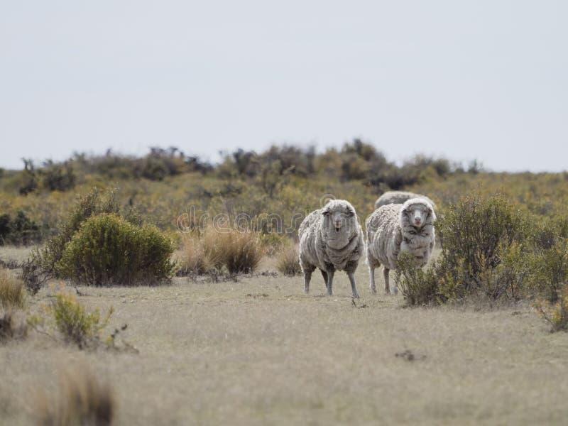 Patagonian schapen stock foto's