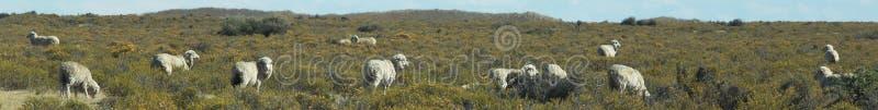 Patagonian schapen, Puerto Madryn, Argentinië royalty-vrije stock fotografie