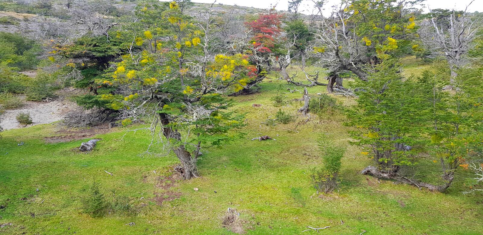 Patagonian trees with autumn colors, Torres del Paine, Chile royalty free stock image