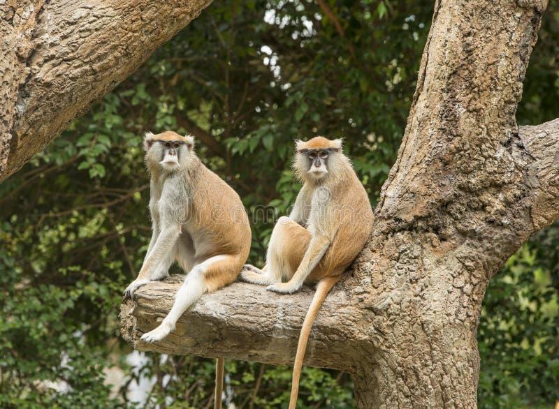 Patas猴子在动物园里 免版税库存照片