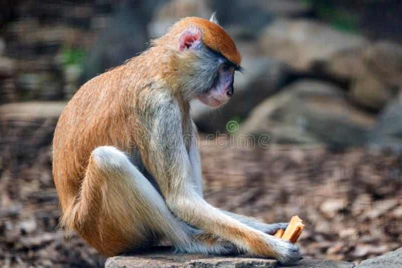 Patas猴子或赤猴patas吃在囚禁的面包 库存照片