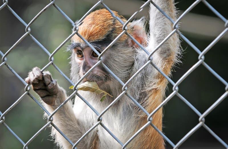 patas обезьяны стоковые фото
