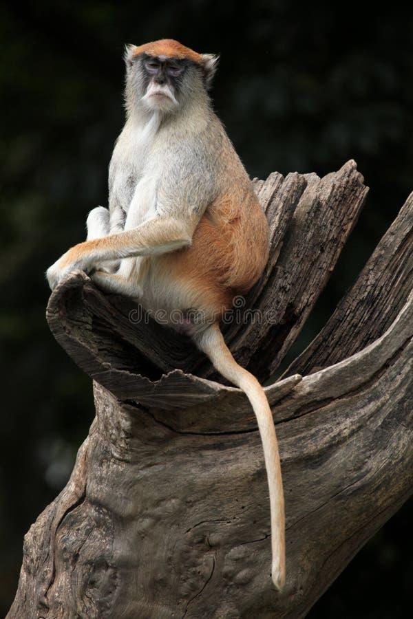 Patas猴子(赤猴patas) 图库摄影
