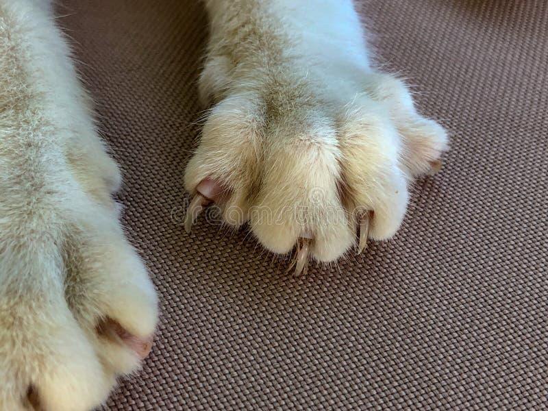 Patas do gato com garras prolongadas imagem de stock