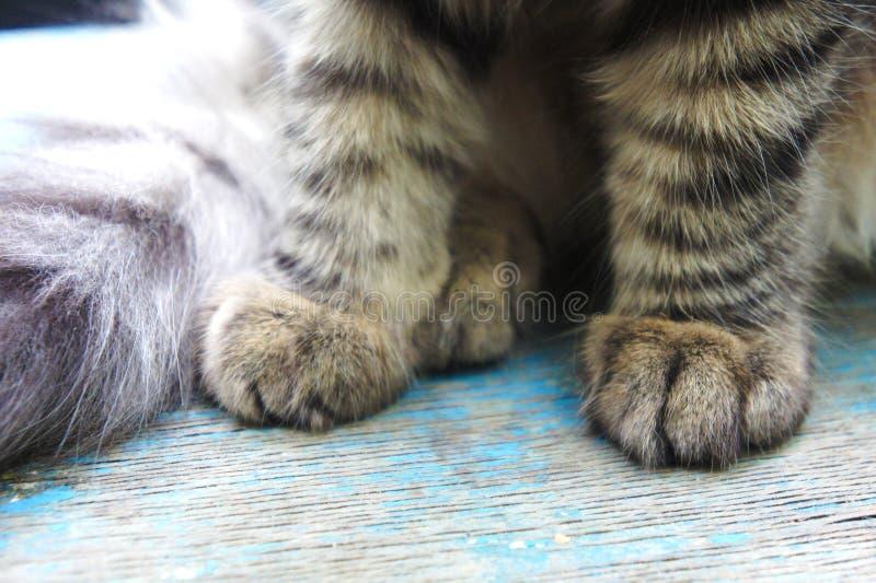 Patas do gato de gato malhado patas listradas do gatinho do close-up foto de stock