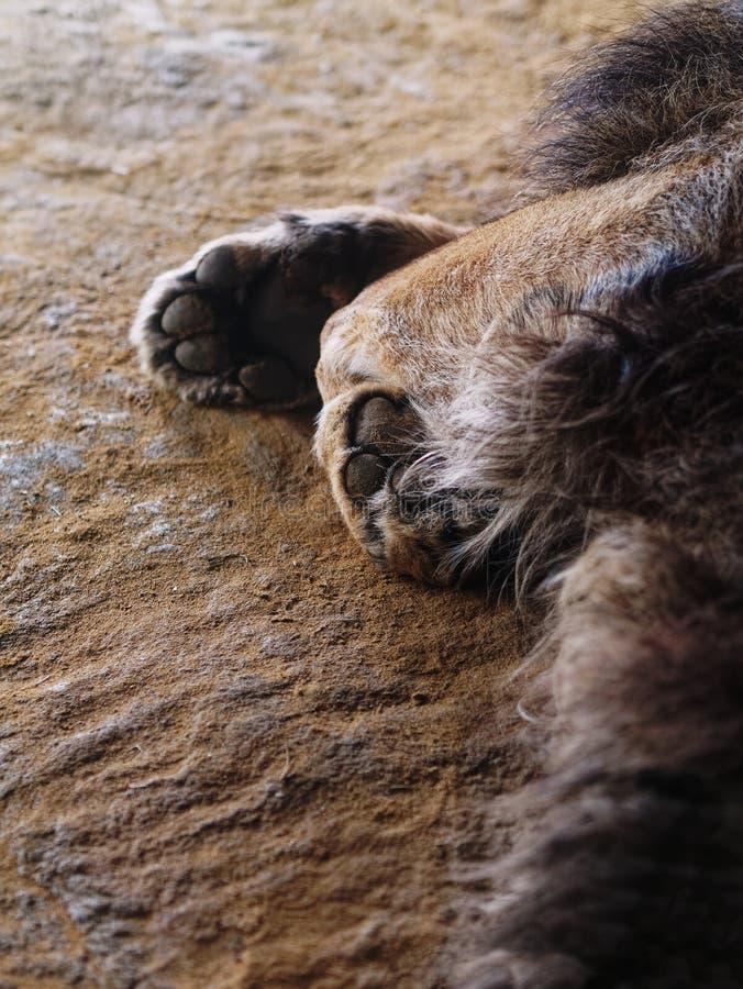 Patas e almofadas do leão imagem de stock