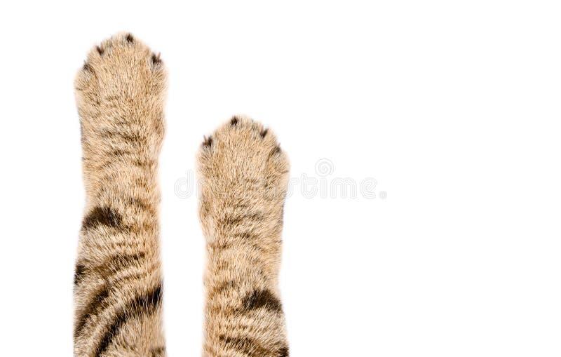Patas hermosas de un gato escocés derecho fotografía de archivo