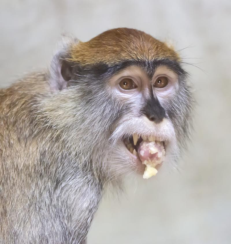 Patas małpa je banana zdjęcia stock