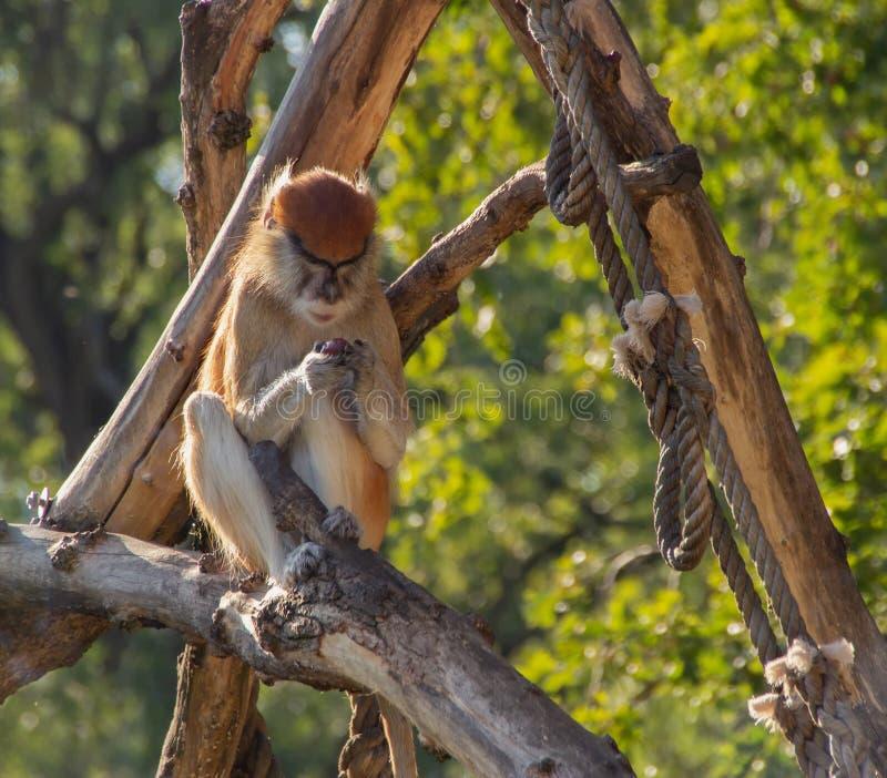 Patas małpa ogląda owoc w swój rękach obraz royalty free
