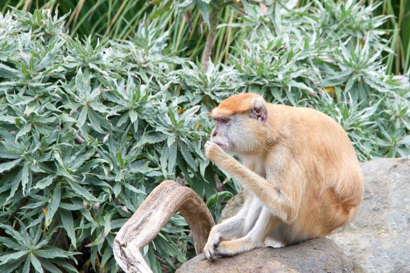 Patas małpy obsiadanie na skale obraz stock