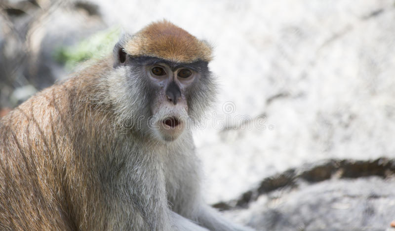 Patas Monkey stock images