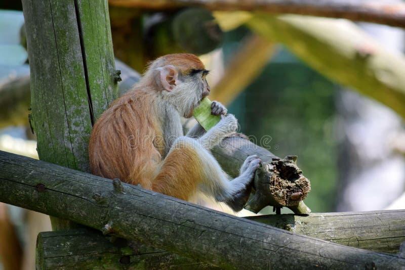 Patas Monkey Erythrocebus Patas Eating royalty-vrije stock foto's