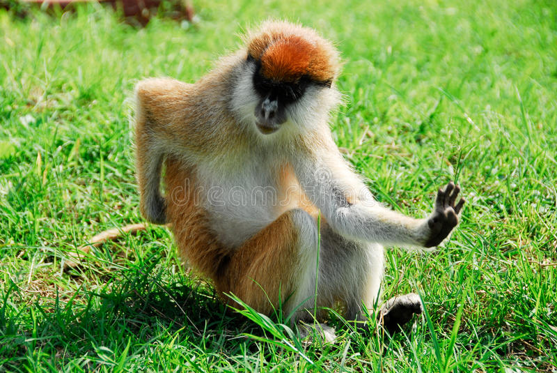 Download Patas Monkey, Kidepo Valley National Park (Uganda Stock Image - Image: 22784587