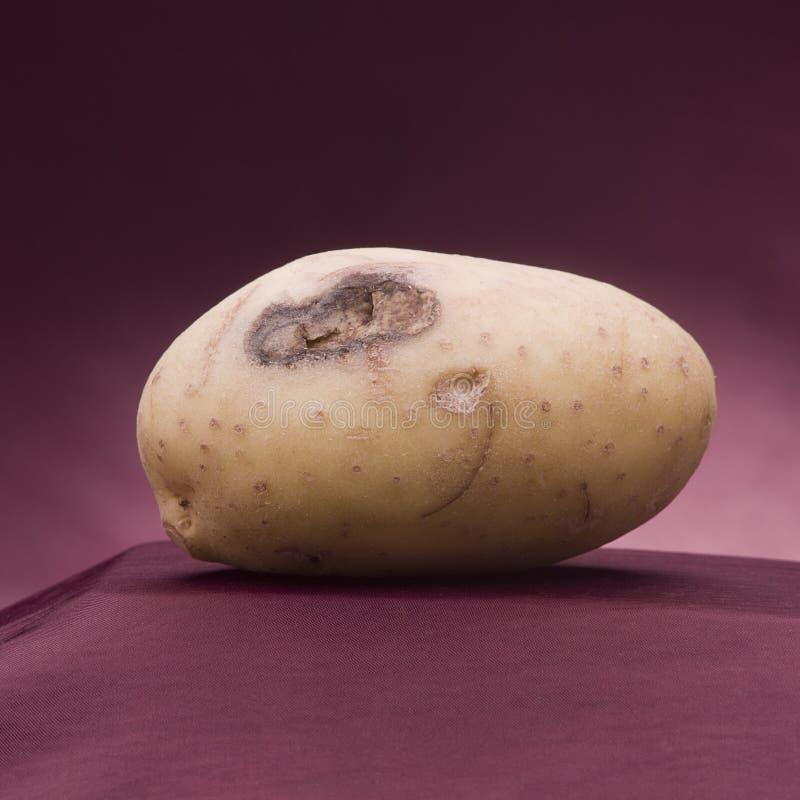 Patata blanca Patata atacada enfermedad foto de archivo libre de regalías