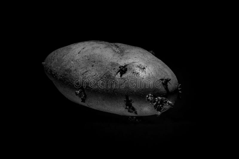 Patata con los brotes en un fondo negro fotografía de archivo libre de regalías