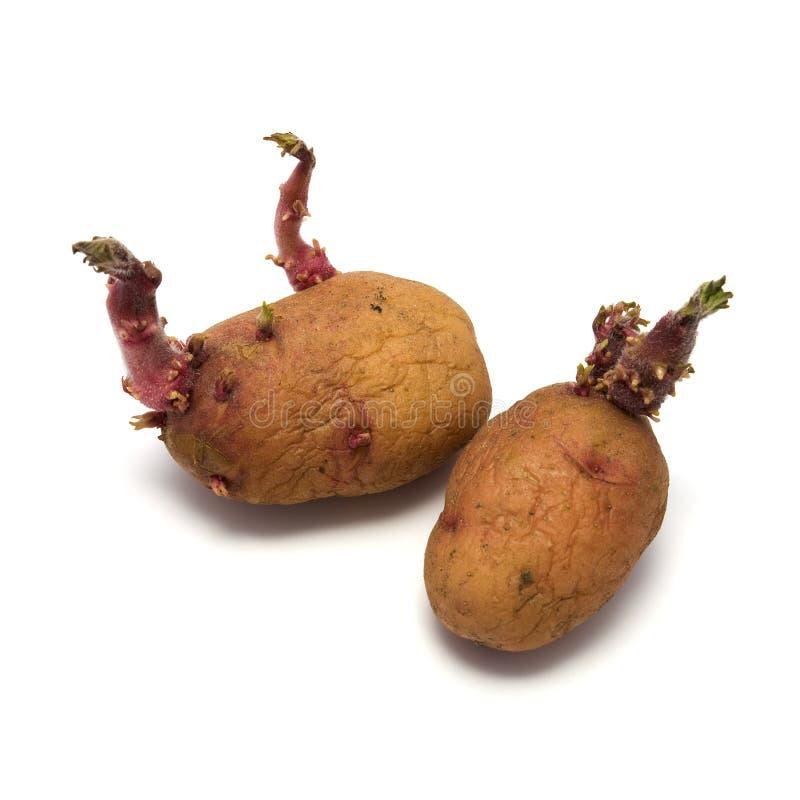 Patata de germen foto de archivo libre de regalías