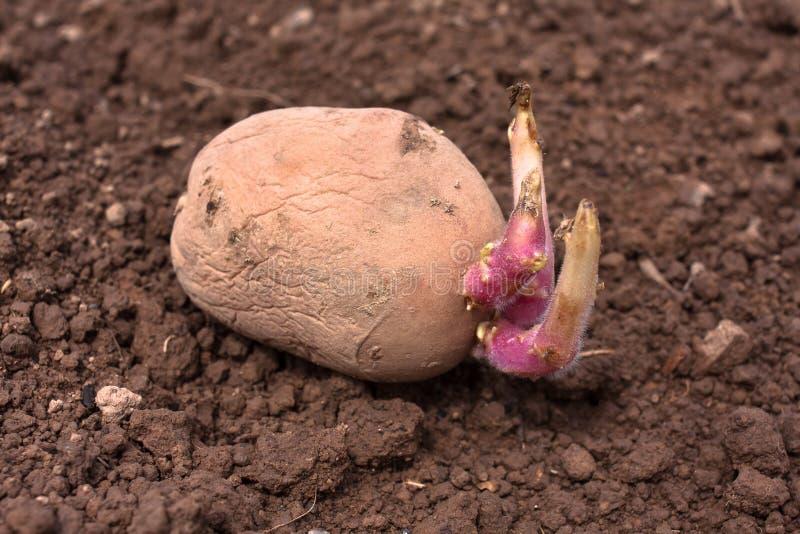 Patata de la germinación antes de plantar fotos de archivo