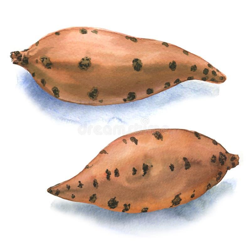 Patata dulce en el fondo blanco stock de ilustración