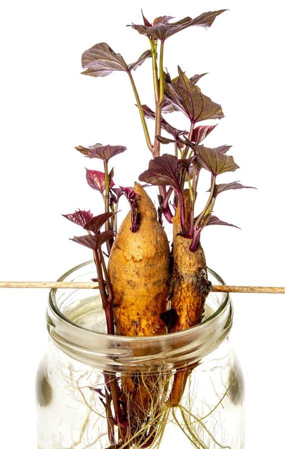 Patata dulce - ipomoea batatas foto de archivo libre de regalías
