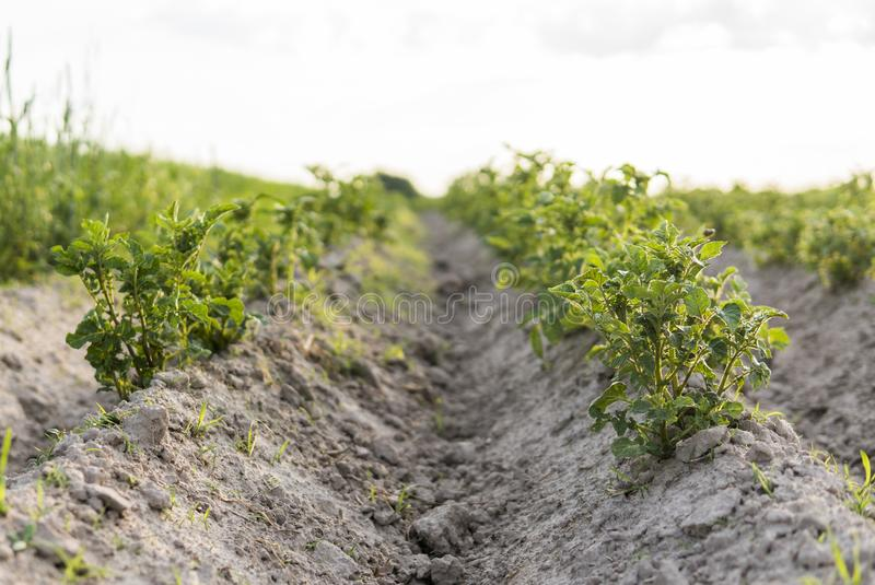 Patata joven en la cubierta del suelo primer de la planta Los lanzamientos verdes de las plantas de patata jovenes que brotan de  foto de archivo libre de regalías