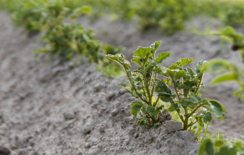 Patata joven en la cubierta del suelo primer de la planta Los lanzamientos verdes de las plantas de patata jovenes que brotan de  fotos de archivo libres de regalías