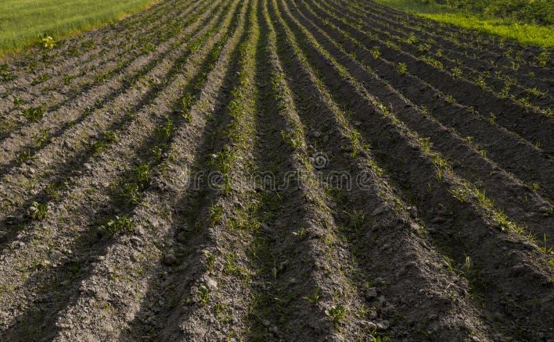 Patata joven en la cubierta del suelo primer de la planta Los lanzamientos verdes de las plantas de patata jovenes que brotan de  imagen de archivo