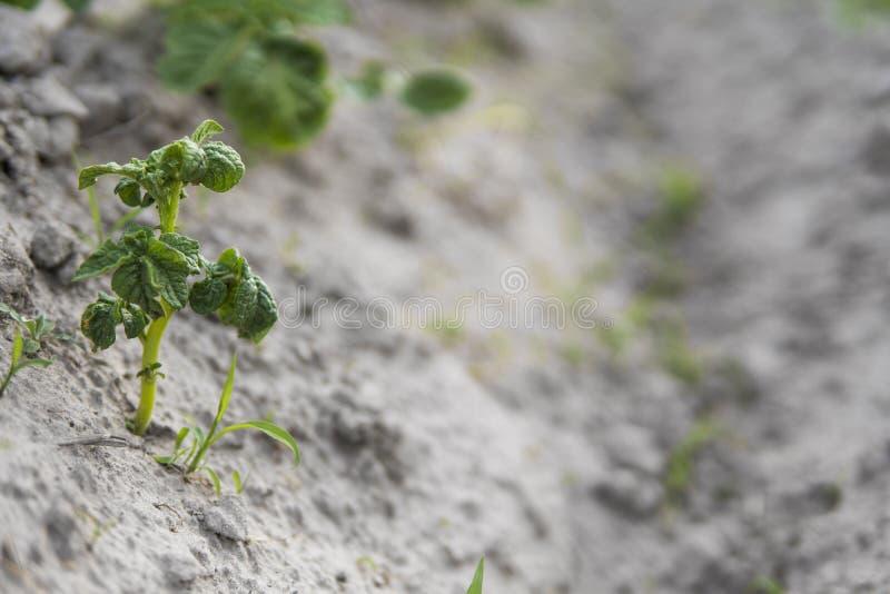 Patata joven en la cubierta del suelo primer de la planta Los lanzamientos verdes de las plantas de patata jovenes que brotan de  imagenes de archivo