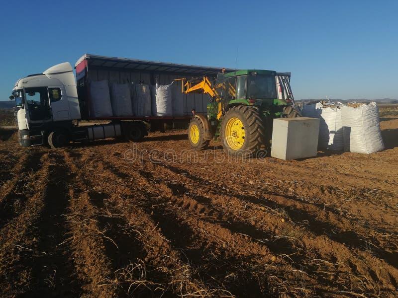 Patatas agras del cargamento del tractor en una cosecha foto de archivo