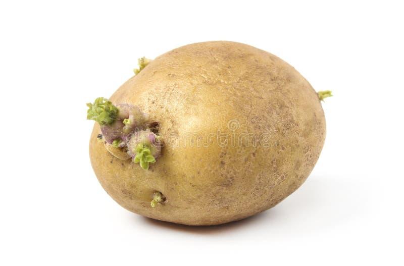 Patatas con los brotes imagenes de archivo