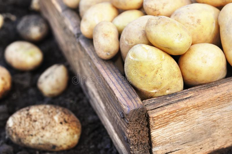 Patatas cosechadas crudas en el cajón de madera, fondo del suelo imagen de archivo libre de regalías