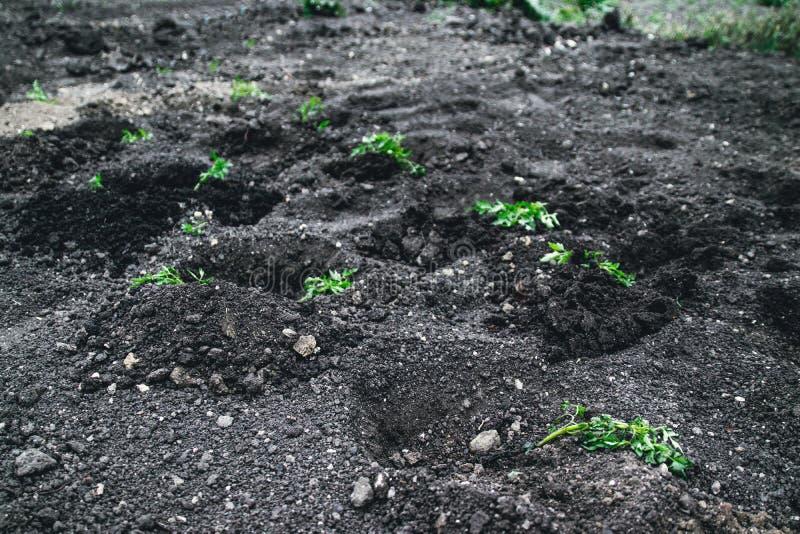Patatas crecientes de la plántula en el suelo Arbusto de la patata en el jard?n Establecimiento de las patatas en los campos imágenes de archivo libres de regalías