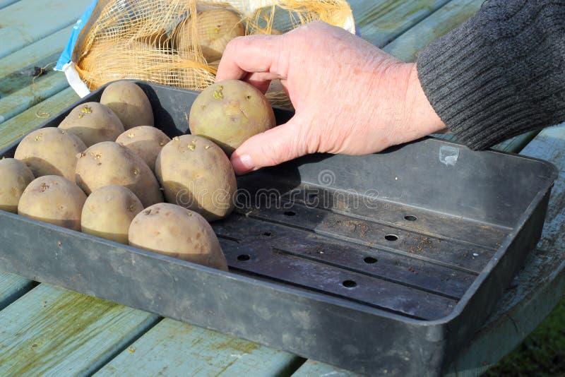 Patatas de germen del brote. foto de archivo