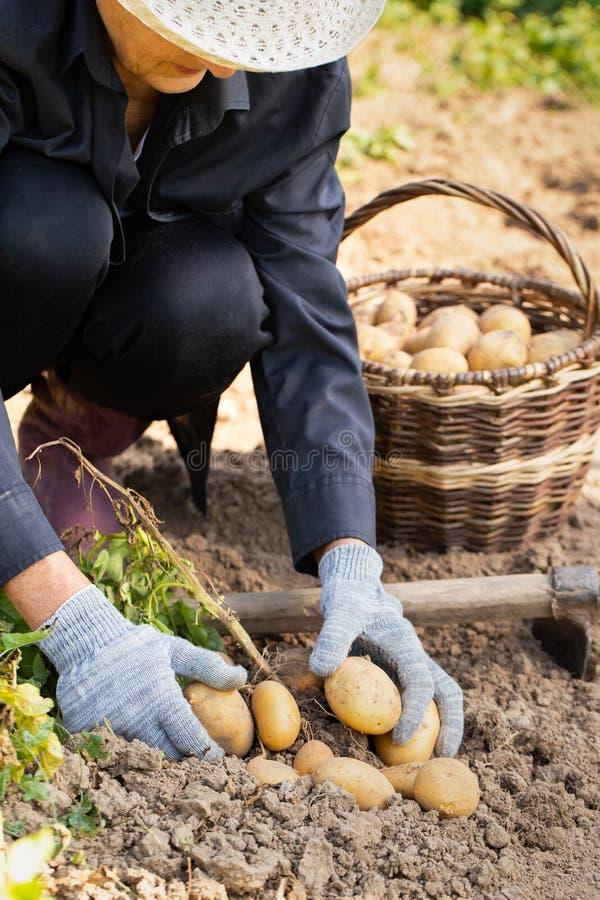 Patatas de Harvesting Fresh Organic del granjero de la mujer del suelo foto de archivo