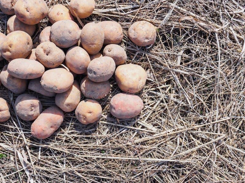 Patatas de sembrador de la primavera en hierba seca Copos de ma?z imagenes de archivo