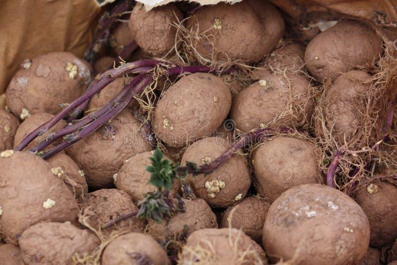 Patatas del brote foto de archivo