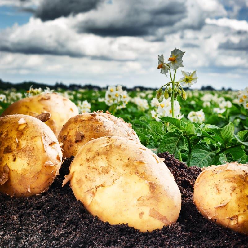 Patatas recientemente cavadas en campo agrícola foto de archivo