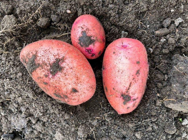 Patatas rosado-peladas recientemente cavadas en la tierra fotos de archivo