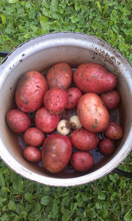 Patatas y ajo foto de archivo
