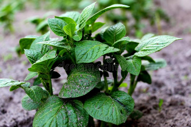 Patate crescenti Germogli verdi Patate novelle fresche nel giardino Verdura germogliata fotografia stock libera da diritti