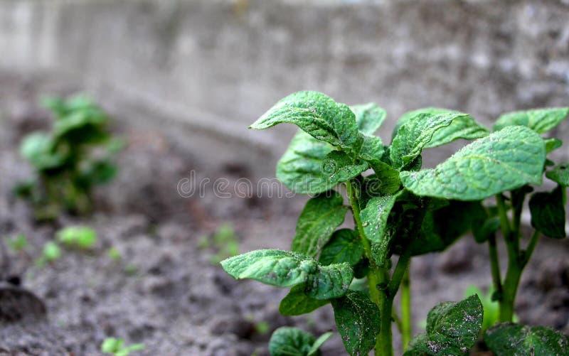 Patate crescenti Germogli verdi Patate novelle fresche nel giardino Verdura germogliata immagini stock libere da diritti