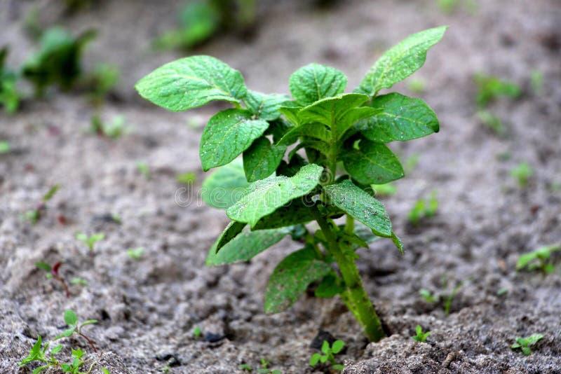 Patate crescenti Germogli verdi Patate novelle fresche nel giardino Verdura germogliata fotografie stock