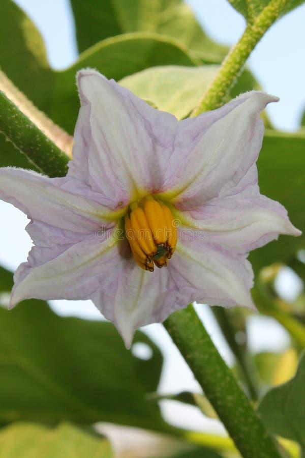 Patate del fiore immagini stock libere da diritti