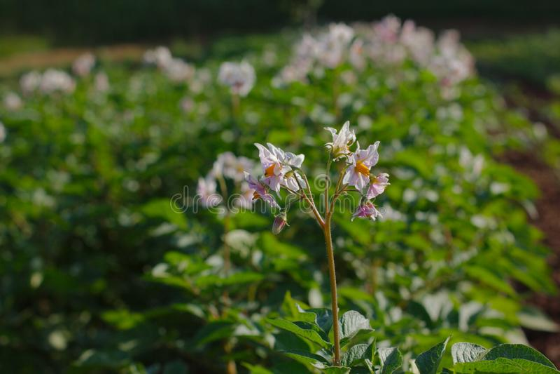 Patate di fioritura sul campo fotografia stock