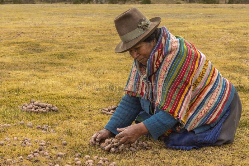 Patate di raccolta agricole Chincheros Cuzco Perù di moraya della donna fotografie stock