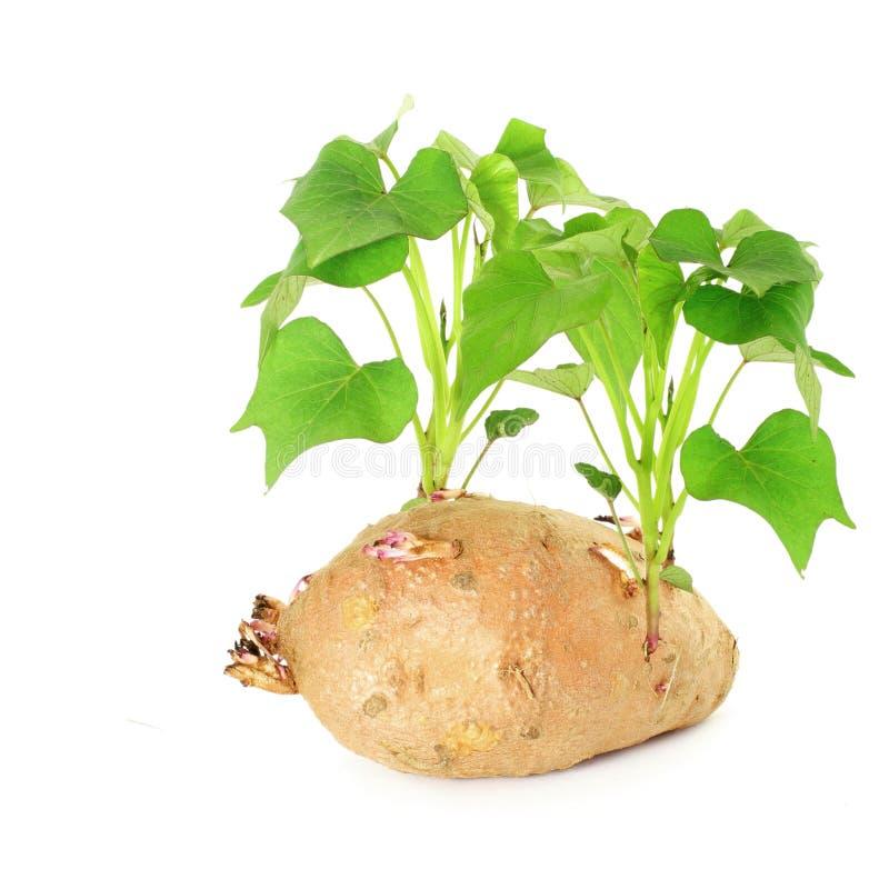 patate douce croissante avec des pousses sur le fond blanc image libre de droits