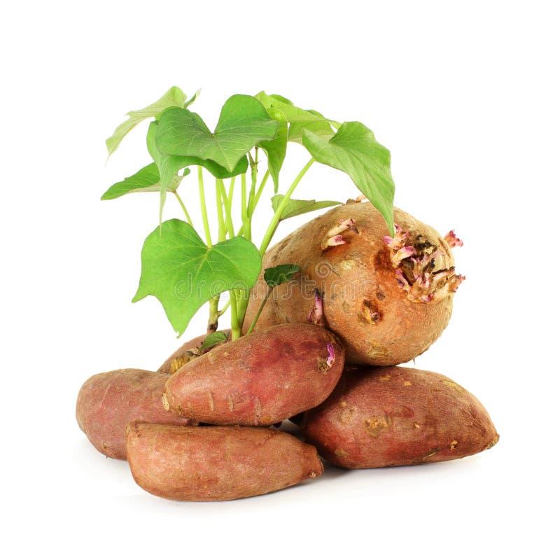 patate douce croissante avec des pousses sur le fond blanc photo libre de droits