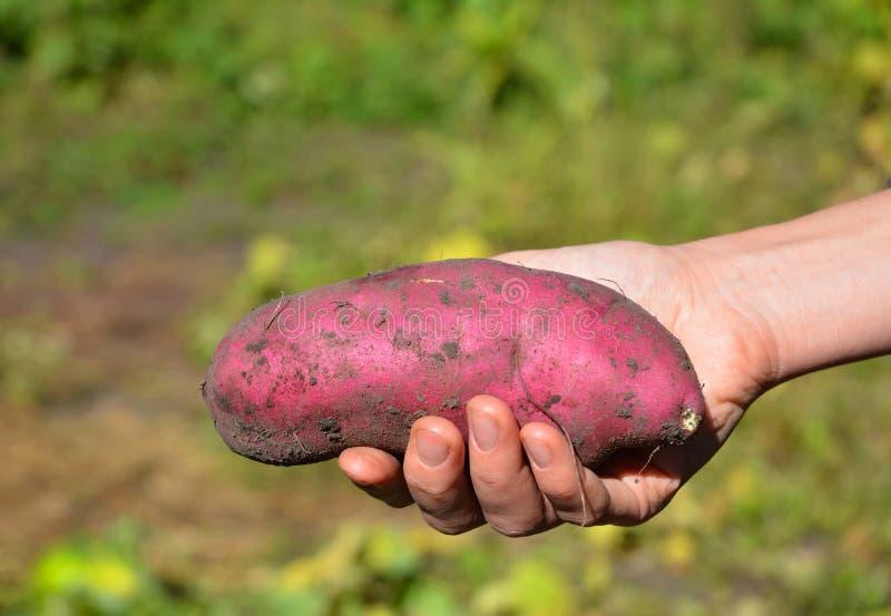 Patate douce dans la main d'agriculteur La meilleure nourriture organique de vegan Patate douce comme aliment sain image libre de droits