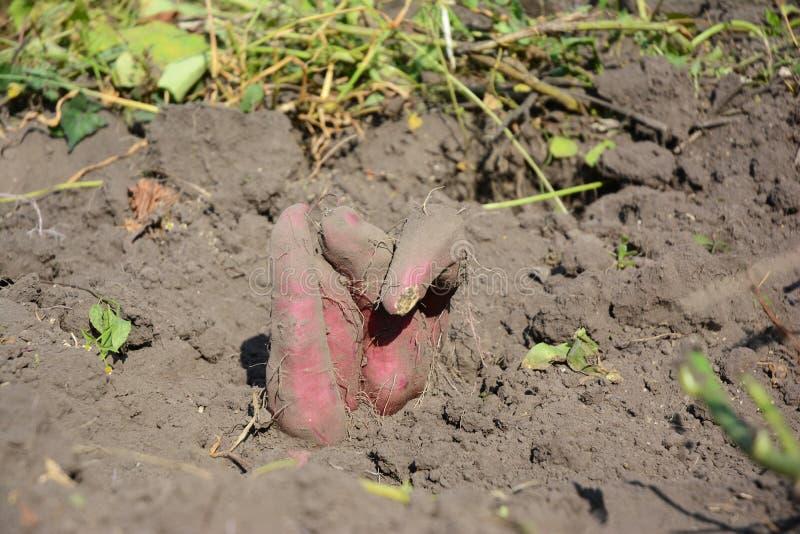 Patate douce : Plantant, s'élevant, et moisson des patates douces images stock