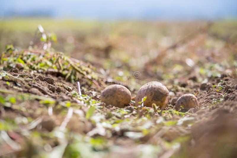 Patate fresche su un'azienda agricola della patata Raccolto, alimento vegetariano organico fotografia stock